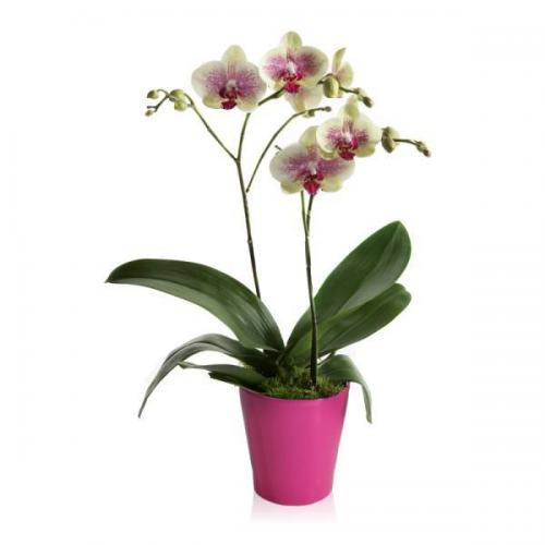 Exotic-tiger-orchid-FQ6005